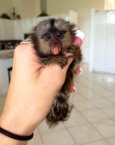 A Finger Monkey  #cute