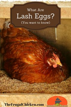 If you own chickens and don't know what lash eggs are, then you want to read this.