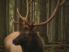 elk hunting wa. | Washington State Roosevelt Elk Tips