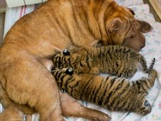 Cleopatra, a Shar Pei dog feeds two baby tigers