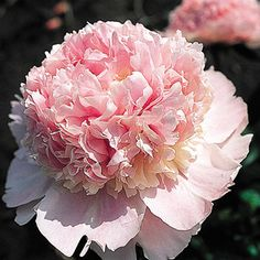 "Peony - ""Angel Cheeks""/ Soft cameo pink flower with red striping on the dorsal extremities of the top most petals. Disease resistant and mildly fragrant. Types Of Flowers, Cut Flowers, Pink Flowers, Exotic Flowers, Yellow Roses, Pink Roses, Most Beautiful Flowers, Pretty Flowers, Beautiful Gardens"