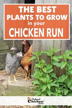 Chicken Coop Run, Diy Chicken Coop Plans, Chicken Garden, Backyard Chicken Coops, Chicken Runs, Growing Chicken Feed, Chicken Run Ideas Diy, Chicken Coup, Chicken Life