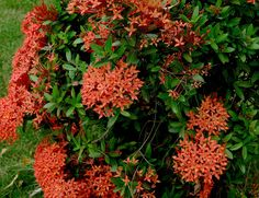 https://flic.kr/p/dAPxAQ | Plantas de Venezuela : Ixora | Ixora coccinea L. var. compacta Hort. RUBIACEAE Origen: Malasia
