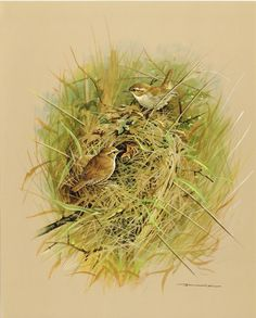The Wren - Vintage 1965 Bird Print by Basil Ede