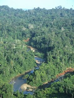 The amazonian virgin forest in Brazil - Peru-- covers 1.7 billion acres in South America, the majority of which is in Brazil and Peru.  The rainforest region and tributaries to the Amazon River cover portions of Venezuela, Ecuador, Bolivia, Guyana, Suriname and French Guiana.  Amazonia  is home to 40,000 species of plants, over 400 species of both mammals and reptiles. 1:5 species of birds that exists on this planet is found in the Amazon Rainforest,