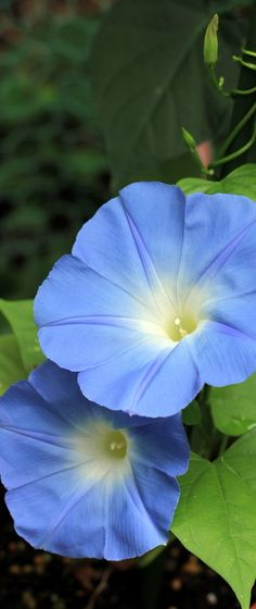 Botanical Garden(kyoto-Japan)Morning glory**  Puppy Eyes from osashin.exblog.jp