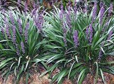 100 Liriope muscari NOT CHOPPED OFF AKA MONKEY GRASS Big Blue Lily Turf plants landscape