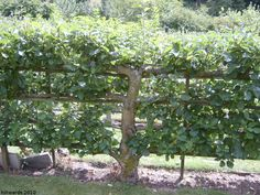 espalier tree | suspect that espalier fruit trees could become rather addictive