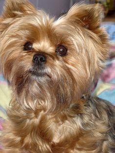 Yorkshire Terrier puppy picture © Sheena MCkinstrie
