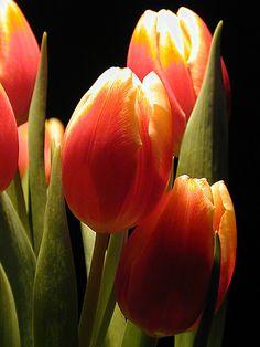 Orangey Yellow Tulips