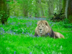 "There are moments in life which completely take your breath away; being in the right place at the right time this photo captures one of those ""moments"". There won't be many times I get to snap off a shot of a lion laying among a bluebell wood.   #magical #lion #wildaninal #bigcat #proud #pride #nature #lifemoment #optoutside #goexplore #magicmoment #bluebells #woods #log #animal #naturephotography  #woodlandphoto #kingofthejungle"