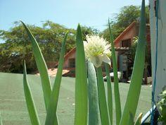 MI TECHO VERDE: El Cebollino (Allium Schoenoprasum)
