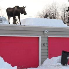 Record snows this year in Anchorage that are now allowing the moose to travel on rooftops!  Via ADN website