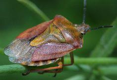 Клоп-щитник: описание, размножение, разновидности и интересные факты об этих…
