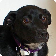 Walnut Creek, CA - Labrador Retriever/Border Collie Mix. Meet Puma, a dog for adoption. http://www.adoptapet.com/pet/12308346-walnut-creek-california-labrador-retriever-mix