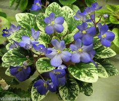 african violets two toned | African Violet Shirls Blue Eyes | eBay Shirl's Blue Eyes (9370) 09 ..