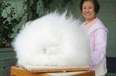 Rabbit Breed: Giant Angora Rabbit.