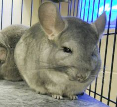 MOMMA is an adoptable Chinchilla Small