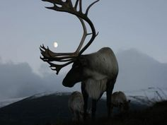 Scotland's reindeer - During the Holidays, you can see free-ranging reindeer (Rangifer tarandus) in Britain, at the Cairngorm Reindeer Centre near Aviemore, in Scotland Beautiful Creatures, Animals Beautiful, Cute Animals, Artic Animals, Photo Animaliere, Look At The Moon, Animal Games, Warrior Princess, Bambi