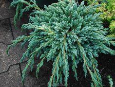juniperus squamata blue spider - Поиск в Google Juniperus Squamata, Spider, Plants, Blue, Google, Spiders, Plant, Planets