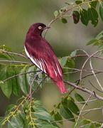 Aves brasileiras. Stunning deep red bird.