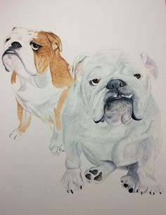A watercolor painting for a client of two #bulldogs Please follow me on Instagram, Twitter and FB my name is ArtisticBulldog.