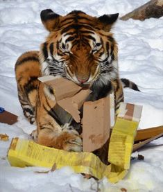 How to tame a tiger..get a box..