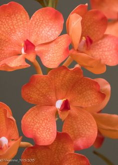Vanda Orchid, You Color My World! - Flickr - Photo Sharing!