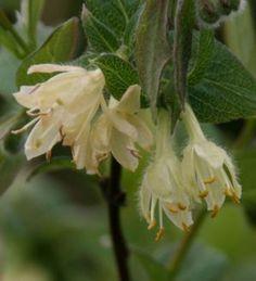 ハスカップが咲いた(Haskap bloomed/Lonicera caerulea)-gooブログ