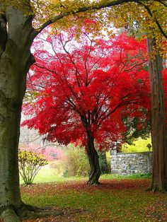 My Favorite Japanese Maple by Stanley Zimny (Thank You for 9,000,000 views), via Flickr