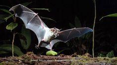 Amazon Bats