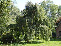 Betula pendula 'youngii', easy to grow and beautiful tree.