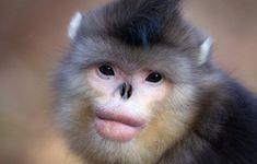 Macaco-preto-de-nariz-arrebitado