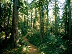オールポスターズの ジェームズ P. ブレア「セコイアの林の中を曲がりくねる森の中の小道」写真プリント
