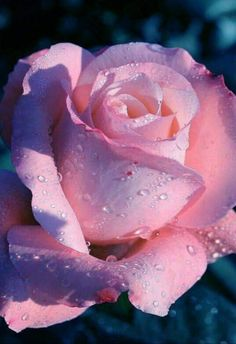 The key issue is to pick a rose which you find beautiful, and that suits your garden. The rose is a kind of flowering shrub. Also, roses may be used for good scent.