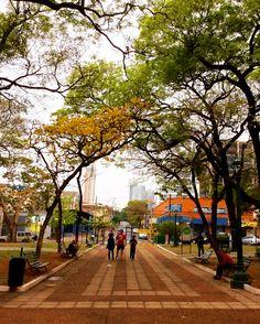 Lapacho amarillo en la Plaza Uruguaya . Asunción -Paraguay