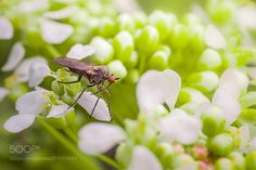 dagger fly - http://ift.tt/1QpHe1p for more.. :) sony a6000 sigma 50/2.8 macro
