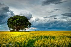 I love the look of a lone tree in a field