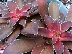 Echeveria hybrid 'Milk Choclate'   Rosettes of chocolate colored leaves on a tender succulent that performs very well in mixed containers. Full sun to light shade with occasional summer water. Great plant in a cold greenhouse or as a houseplant in bright light. Allow to dry between waterings inside. Tall spikes of orange/pink flowers in winter. Bring in a single rosette before a hard freeze- replant in spring. Easy. Multiplies quickly.