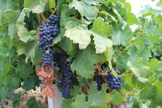 Sicilian Wine grapes starts to get some color. The harvest starts in the end of September in some parts of Sicily.