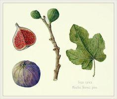 Brigitte Rieser: Watercolor Fig, Branch & Leaf