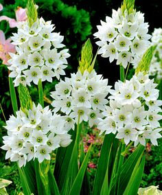 Chincherinchee  Good companion for cranesbills (geranium) and Scabiosa