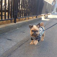 Love Pet, Puppy Love, Animal Pictures, Cute Pictures, Griffon Bruxellois, Brussels Griffon, Rat Terriers, Pug Life, Monki