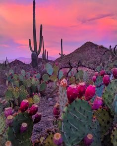 It's Prickly Pear season in Tucson. — at Saguaro National Park. Desert Aesthetic, Nature Aesthetic, Mother Earth, Mother Nature, Tucson Hotels, Beautiful World, Beautiful Places, Belle Photo, Aesthetic Pictures