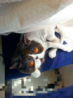 gatico persa