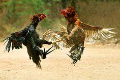 Secal sandai, traditional cock fight in Tamil Nadu
