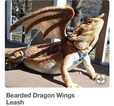 Transform your reptilian friend into a majestic mythical beast using this bearded dragon winged leash . This handmade piece provides a secure, comfortable fit and comes with felt wings that create the illusion your small pet is a fierce dragon. Bearded Dragon Wings, Bearded Dragon Funny, Bearded Dragon Diet, Bearded Dragon Colors, Bearded Dragon Terrarium, Bearded Dragon Habitat, Dragon Pet, Cute Little Animals, Cute Funny Animals