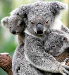 This picture represents the characteristic of all of living things reproduce. This is image correlates to the characteristic because this is a koala with its babies. When organisms reproduce it creates off-springs.