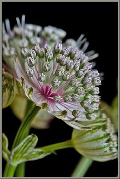 Pink Masterwort (Astrantia major) 'Buckland'