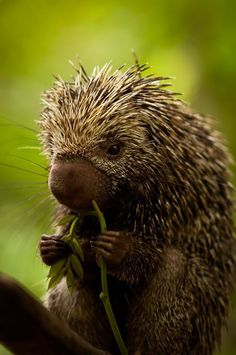 A Brazilian hedgehog stopping for a snack.....World Wildlife Fund ...Protects exotic animals world wide ...please join their org today :)